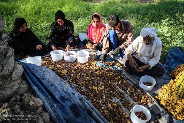 تعاون روستایی خرمای خوزستانی را به صورت حمایتی خریداری می نماید