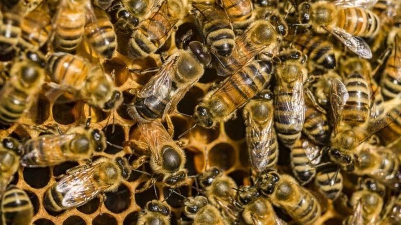 از بین رفتن سلول های سرطانی با سم زنبور عسل