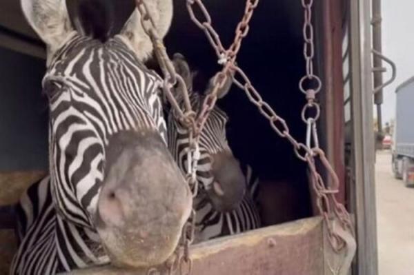 واکنش محیط زیست به فیلم کتک زدن گورخری که تلف شد