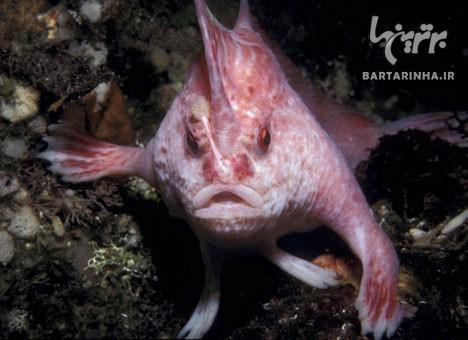 ماهی عجیبی که دست دارد!