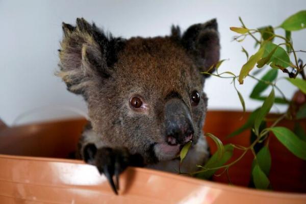 تور استرالیا ارزان: کاهش 30 درصدی جمعیت کوالاها در استرالیا